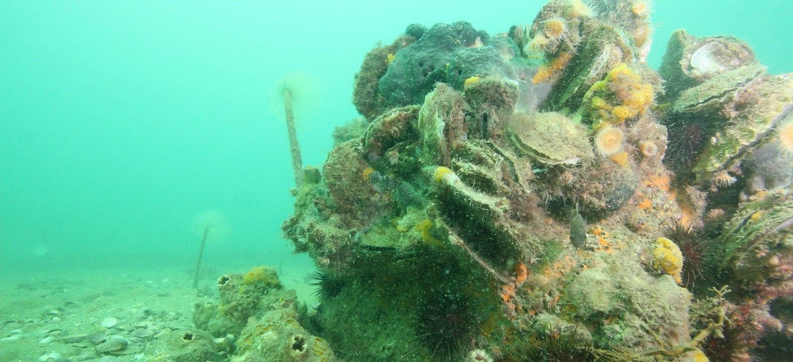 Shellfish Reef Restoration